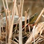 """Painted Turtle Sunning Itself in Reeds"" by rhamm"