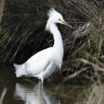 """""""Snowy Egret"""" by WildAboutNaturePhotography"""
