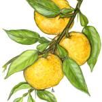 """""""Citrus junos"""" by kirke"""