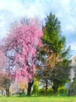 Weeping Cherry and Evergreen