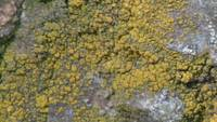 Yellow Lichen Rock Botany Plant Flora Hells Canyon