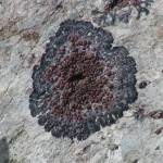 """Grey Brown Lichen Botany Plant Flora Hells Canyon"" by thenatureexplorers"