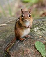 Chipmunk Portrait