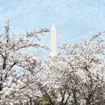 """Trees with the Washington Monument"" by esteemededww"