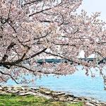 """""""Cherry Blossom Over the Water"""" by esteemededww"""