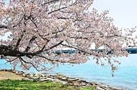 Cherry Blossom Over the Water