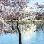 """Three Cherry Trees"" by esteemededww"