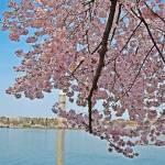 """Cherry Tree Branches"" by esteemededww"