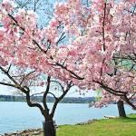 """Cherry Trees"" by esteemededww"