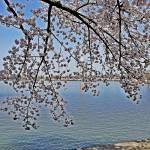 """Cherry Branch"" by esteemededww"
