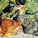 """Toadfish and Scorpionfish Tropical Fish"" by kphotos"