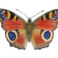 Peacock Butterfly (Inachis io) Art Prints & Posters by Tamara Clark