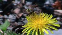 Bee Yellow Flower Insect Bug Animal Creature