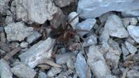 Brown Black Spider Arachnid Animal Creature Wild