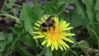 Bumblebee Bee Yellow Flower Insect Bug Animal