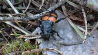 Orange Black Beetle Insect Bug Animal Creature