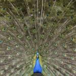 """peacock close up"" by unicornorg"