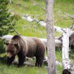 """""""Wild Side Of Yellowstone - Grizzly"""" by artsandi"""