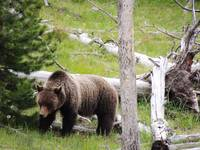 Wild Side Of Yellowstone - Grizzly