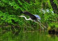 Grey Heron TakeOff