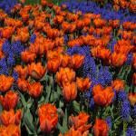 """Tulips ""Princess Irene"" with muscari"" by bufo"
