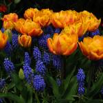 """Tulips and muscari"" by bufo"