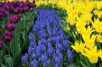 Muscari and tulip flowerbed