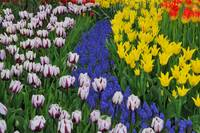 Tulip and muscari flowerbed