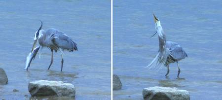 A Great Blue Heron catching a cat fish