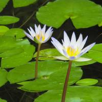 Water Lilies Art Prints & Posters by Ruth Roth