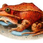 """California Red-Legged Frog"" by inkart"