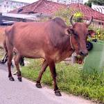 """COWS ON THE ROAD, PENANG, MALAYSIA"" by nawfalnur"