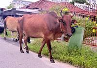 COWS ON THE ROAD, PENANG, MALAYSIA