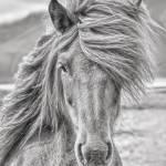 """""""Icelandic Horse"""" by CoraNiele"""