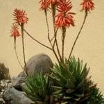 """""""Aloe 2"""" by MariuszKula"""