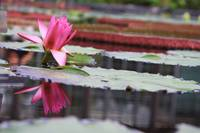 Pink Waterlily with reflection