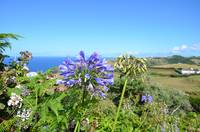 Wild Agapanthus In The Azores