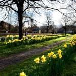 """""""Daffodils Baslow"""" by stewak"""