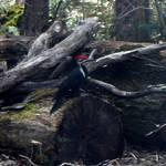 """Pileated Woodpecker in April"" by bigfigyogi"