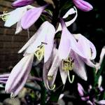 """Hosta Bloom 1: My Front Yard"" by Mylene"
