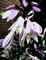 Hosta Bloom 1: My Front Yard
