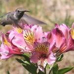 """Hummingbird 1"" by waknight"