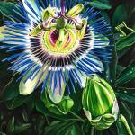 """Passion Flower"" by KellyEddington"