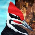 """""""Piliated Woodpecker"""" by oenonehammersley"""