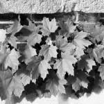 """ivy"" by gfrizenphoto"
