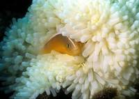 Clownfish and White Anemona