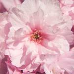 """Cherry Pink"" by gnossisart"