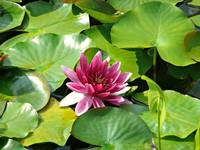 Bright Pink Waterlily