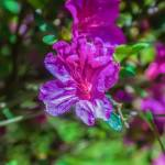 """Blooming Pink Rhododendron (Azalea)  close-up, sel"" by digidreamgrafix"