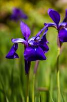 Iris flower on green blurred background, photo tak